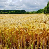 Buy canvas prints of Field of Gold Wheat by Penny Martin