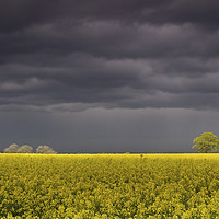Buy canvas prints of A storm brewing over a rapeseed field by Wendy McDonnell