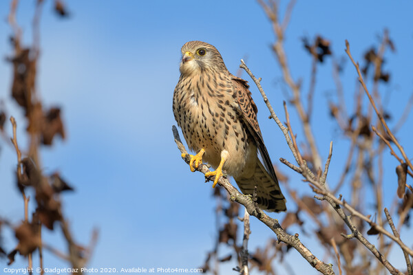 Kestrel perched in a tree Framed Mounted Print by GadgetGaz Photo