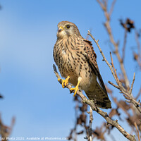 Buy canvas prints of Kestrel perched in a tree by GadgetGaz Photo