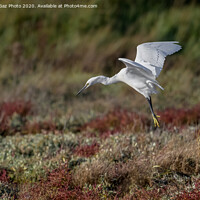 Buy canvas prints of Little Egret in the Autumn by GadgetGaz Photo
