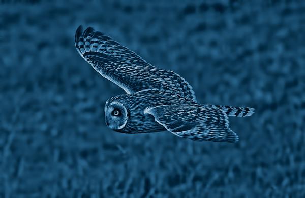 Short Eared Owl Canvas print by Ste Jones