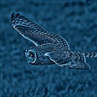 Buy canvas prints of Short Eared Owl by Ste Jones