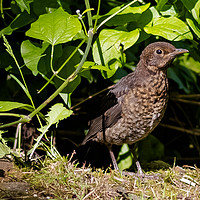 Buy canvas prints of Close up Young Black Bird by Heidi Hennessey