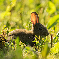 Buy canvas prints of Evening bunny rabbit by Kevin Arscott