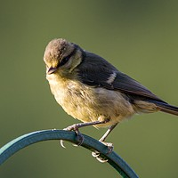 Buy canvas prints of Juvenile Great Tit by Kevin Arscott