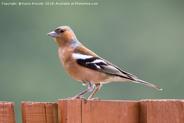 Chaffinch on the fence Canvas Print by Kevin Arscott