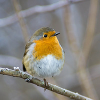 Buy canvas prints of Robin on a frosty branch by Kevin Arscott