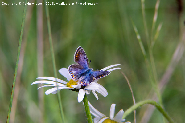 Common Blue Butterfly Canvas print by Kevin Arscott