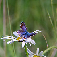 Buy canvas prints of Common Blue Butterfly by Kevin Arscott