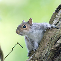 Buy canvas prints of Grey Squirrel by Kevin Arscott