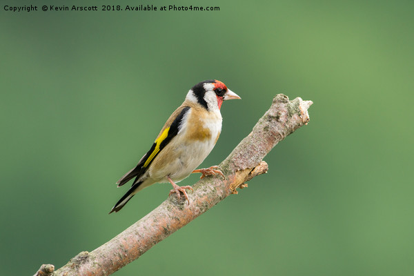 Male Goldfinch Canvas print by Kevin Arscott