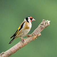 Buy canvas prints of Male Goldfinch by Kevin Arscott