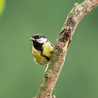 Buy canvas prints of Great Tit by Kevin Arscott