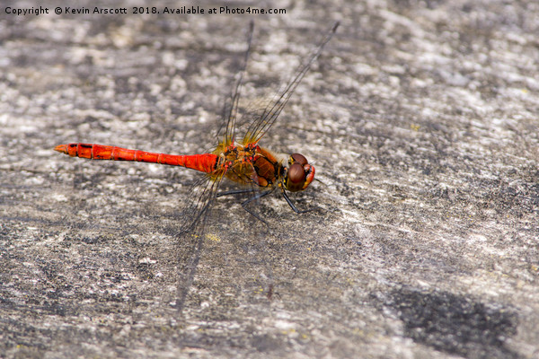 Red-veined Darter Dragonfly Canvas print by Kevin Arscott