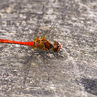 Buy canvas prints of Red-veined Darter Dragonfly by Kevin Arscott