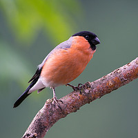 Buy canvas prints of Bullfinch by Kevin Arscott