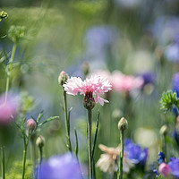 Buy canvas prints of Pink flower in the meadow by Kevin Arscott