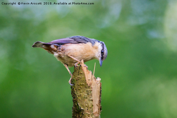 Nuthatch Canvas Print by Kevin Arscott