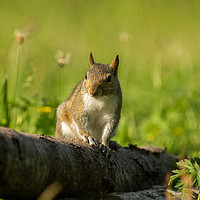 Buy canvas prints of Evening Squirrel by Kevin Arscott