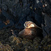 Buy canvas prints of Otter, Shetland by Helen Perry