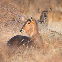 Buy canvas prints of Female Waterbuck resting at sunset Erindi, Namibia by Childa Santrucek