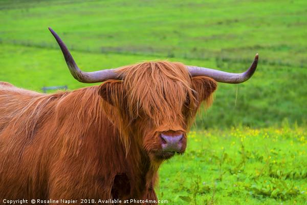 Highland Cow close up Canvas print by Rosaline Napier