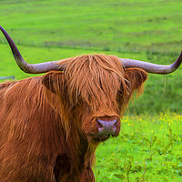 Buy canvas prints of Highland Cow close up by Rosaline Napier