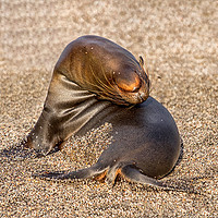 Buy canvas prints of Contortionist sea lion Galapagos by Rosaline Napier