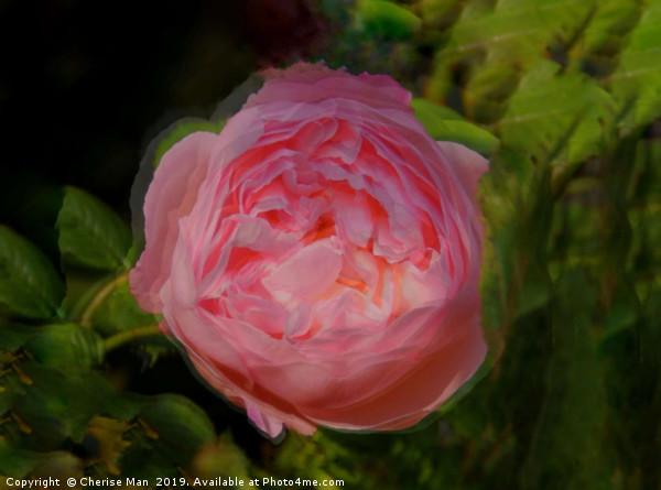 Pink rose flower  Canvas Print by Cherise Man