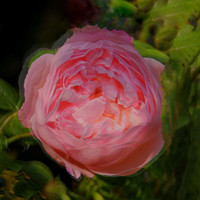 Buy canvas prints of Pink rose flower  by Cherise Man