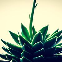 Buy canvas prints of Houseleek plant by Nikole K