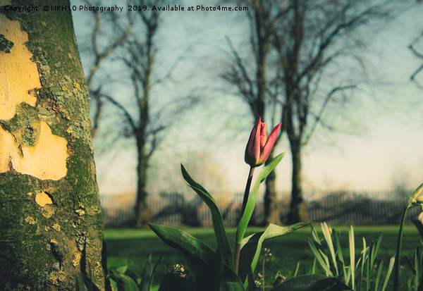 Red tulip in the sunshine Canvas print by NKH10 Photography