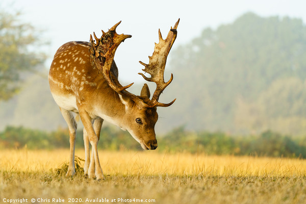 Male Fallow Deer stag in early morning autumn ligh Canvas print by Chris Rabe