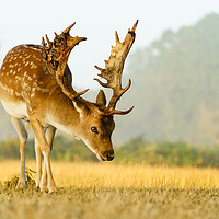 Buy canvas prints of Male Fallow Deer stag in early morning autumn ligh by Chris Rabe