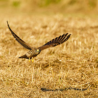 Buy canvas prints of Common Kestrel in flight, low over grass by Chris Rabe