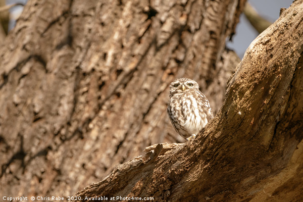 Little Owl on a tree Canvas print by Chris Rabe
