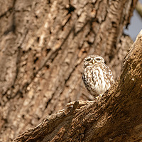 Buy canvas prints of Little Owl on a tree by Chris Rabe