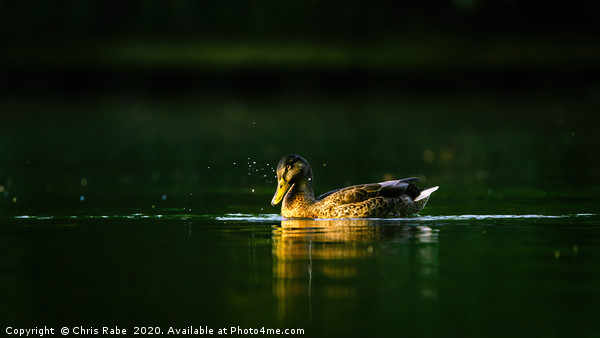 Mallard Duck at dawn on the Thames Canvas Print by Chris Rabe