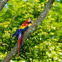 Buy canvas prints of Scarlet Macaw  by Chris Rabe