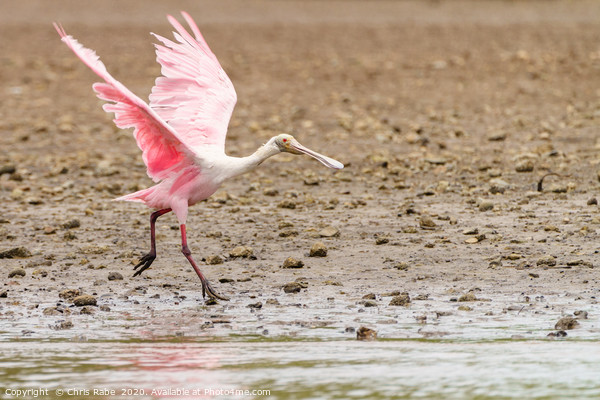 Roseate Spoonbill  Canvas Print by Chris Rabe