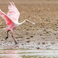 Buy canvas prints of Roseate Spoonbill  by Chris Rabe