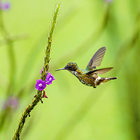 Buy canvas prints of Black-crested Coquette  by Chris Rabe