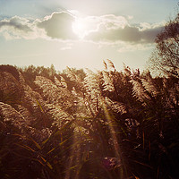 Buy canvas prints of Reed in warm sunlight by youri Mahieu