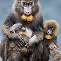 Buy canvas prints of Mandrill Family II by Abeselom Zerit