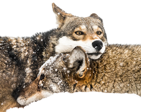 Red Wolf Pair in Snow Canvas print by Abeselom Zerit