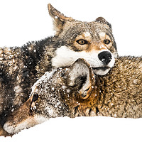 Buy canvas prints of Red Wolf Pair in Snow by Abeselom Zerit