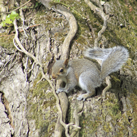 Buy canvas prints of  Grey Squirrel by mark philpott