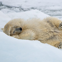Buy canvas prints of Polar bear rolling on the ice by Kirk Hewlett