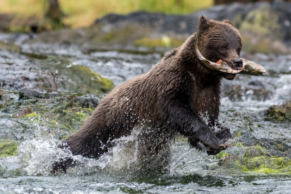 Grizzly bear running with Salmon Canvas print by Kirk Hewlett
